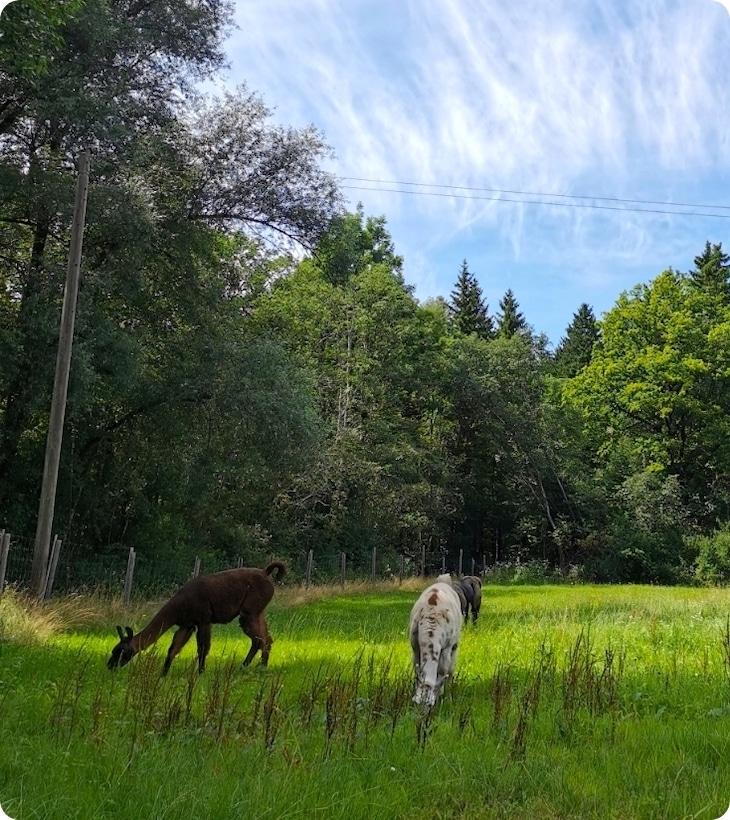 Erlenwald Lamas Weide